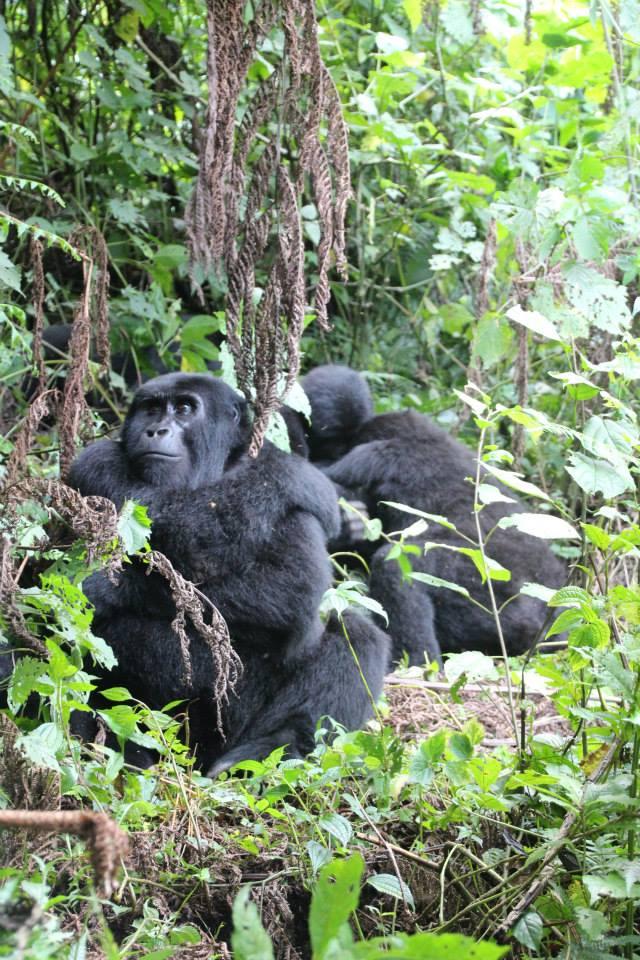 bjerggorillaer uganda